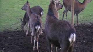 sika deer calls...