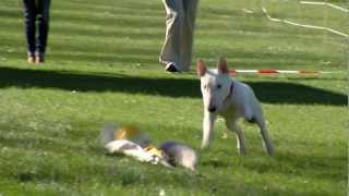 getlinkyoutube.com-Mini Bull Terrier Bully Run Midland Lelystad WeShootit