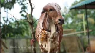 getlinkyoutube.com-Mahalekshmi Goshala