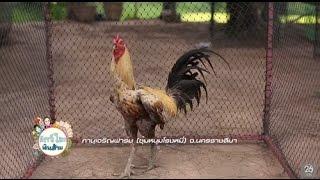 getlinkyoutube.com-สัตว์โลกเงินล้าน ไก่ชน(6 ส.ค.59)