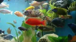 getlinkyoutube.com-African Cichlid 100 Gallon Tank Update 6.7.14
