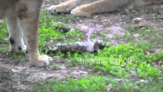 Lion Eats Cat