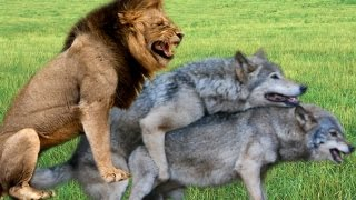 getlinkyoutube.com-Tiger Wolf Lion Mating : Different Animals