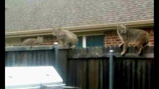 getlinkyoutube.com-Bobcat jumps into backyard, kills dog