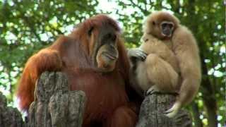 getlinkyoutube.com-Orangutan Loves Gibbon Baby - Cincinnati Zoo