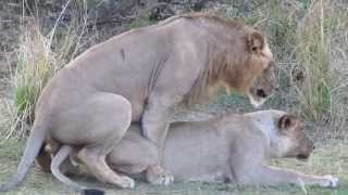 getlinkyoutube.com-Lion sex: you won't believe the noises they make! Mating & orgasm (just like humans!)