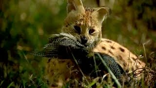 getlinkyoutube.com-Serval Hunting Prey with an incredible Jump