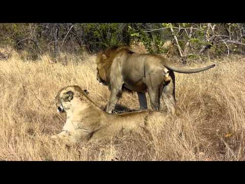Mating Pair of Lion, Kruger National Park, South Africa V2