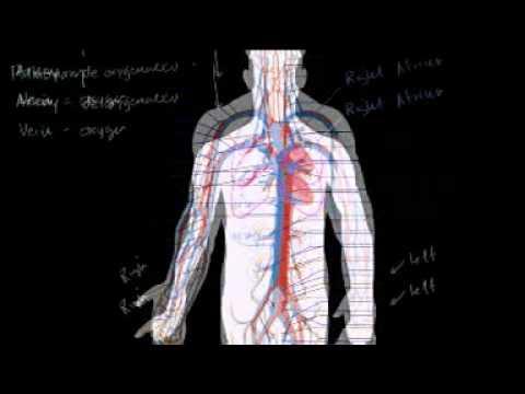Sistem Sirkulasi Darah dan Jantung