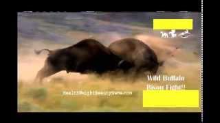 getlinkyoutube.com-Wild Animals Fight time - Big Buffalo vs Bigger Buffalo!