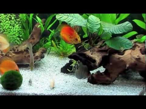 Peces Disco comiendo en acuario de 240 litros. Discus Fish eating.