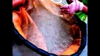 getlinkyoutube.com-Arowana fish - removing babies from male arowana mouth