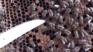 getlinkyoutube.com-Deparazitarea si inmultirea albinelor - Posibil atac de varroa la inmultitor asa cum e de asteptat