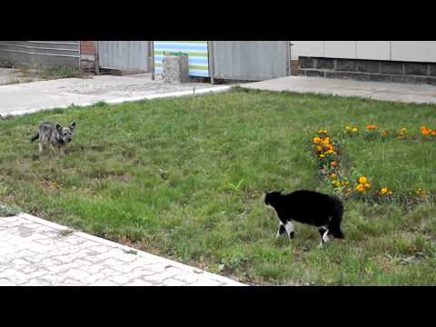 Cat vs Dog! Cat wins! HD
