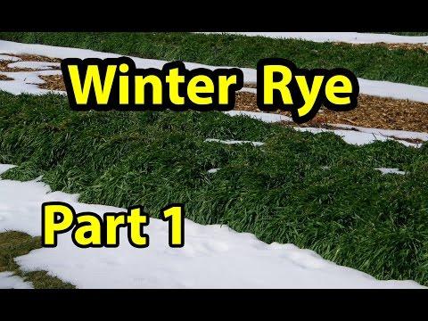 Winter Rye Cover Crop Test.. Organic gardening 101. Part 1