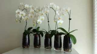 getlinkyoutube.com-Phalaenopsis Orchids in Hydroton Clay