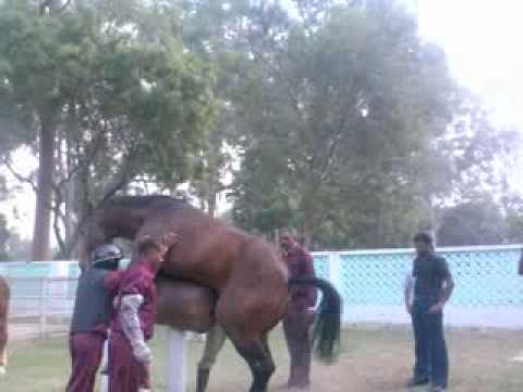 horse semen collection.mp4