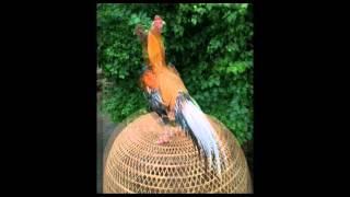 getlinkyoutube.com-บอยไก่สยาม ไก่เหลืองหางขาว