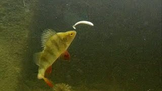 getlinkyoutube.com-Fishing wt Black Minnow: perch chewing soft lure underwater attack. Рыбалка окунь жуёт силикон атака