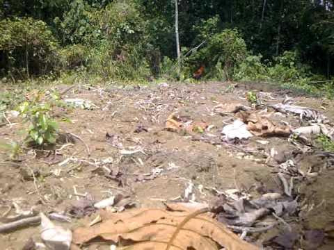 Ayam hutan king 20(full video)