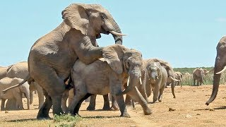 getlinkyoutube.com-Mating Elephants - Latest Wildlife Sightings