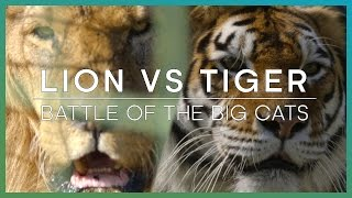 getlinkyoutube.com-LION vs TIGER: Battle Of The Big Cats - BBC Earth Unplugged