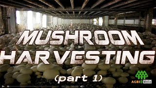 getlinkyoutube.com-MUSHROOM HARVESTING (part 1)