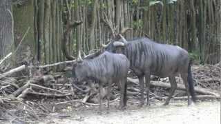getlinkyoutube.com-Streifengnubock treibt Weibchen