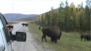 getlinkyoutube.com-Wild bison fight.