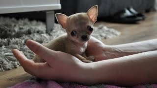 getlinkyoutube.com-Najmniejszy pies świata? Oto Toudi z Wrocławia