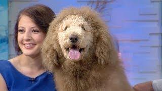 getlinkyoutube.com-Labradoodle Mistaken for Lion, Prompts 911 Calls | CUTE ANIMALS (Episode 6)