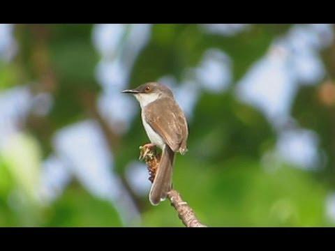 Grey-breasted Prinia - Birdwatching Thailand
