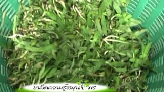 getlinkyoutube.com-รายการสมุนไพร ตอน หญ้าปักกิ่ง