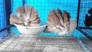 getlinkyoutube.com-Fancy Pigeon Loft