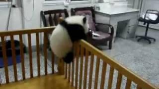 getlinkyoutube.com-Escaping Baby Pandas