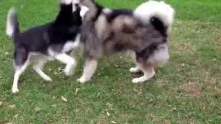 getlinkyoutube.com-Siberian husky VS Alaskan Malamute