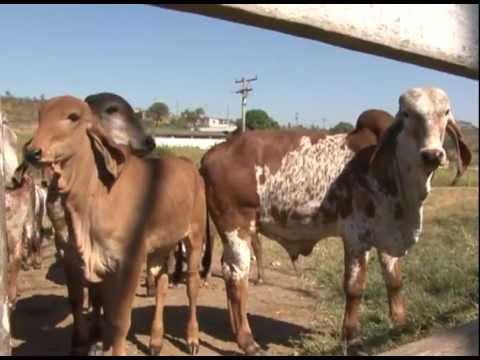 As características e benefícios da criação do gado Gir - Programa Revista do Campo