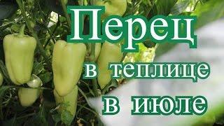 Перец в теплице в июле. (10.07.2016 г.)