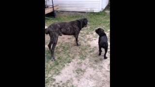 Cane corso vs napolitan mastif