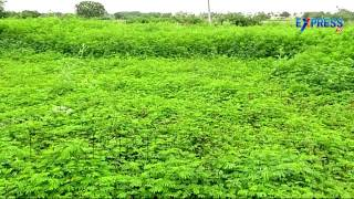 getlinkyoutube.com-New Green Grass Varieties of Hybrid Napier Bajra and Its Cultivation Practices - Express TV
