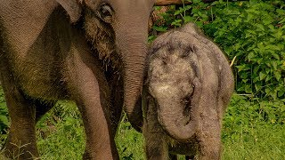 Three Legged Orphan Elephant Makes A New Friend | BBC Earth