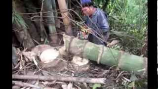 getlinkyoutube.com-Giant Bamboo Biggest in Thailand 1