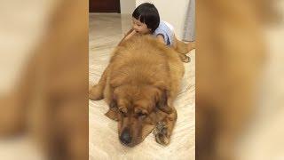 getlinkyoutube.com-Gentle Giant Mastiff Plays With Baby