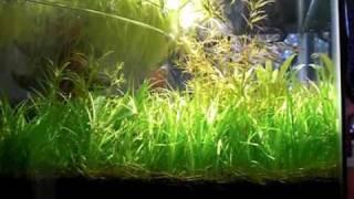 getlinkyoutube.com-コリドラス・ピグミーの群れ、Pygmy Cory (Corydoras pygmaeus) Choo Choo Train