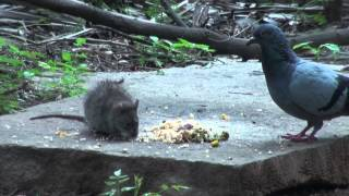 getlinkyoutube.com-Fighting for food pigeon squirrel and rat