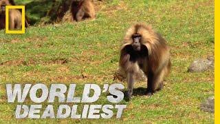 getlinkyoutube.com-Gelada vs. Gelada | World's Deadliest