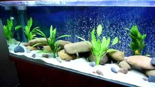 getlinkyoutube.com-African Malawi Cichlid community Aquarium. Just setup.