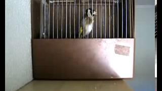 getlinkyoutube.com-تغريد طائر الحسون البري