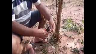 getlinkyoutube.com-Enxerto de jabuticaba