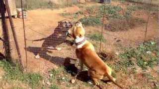 getlinkyoutube.com-pitbull fight